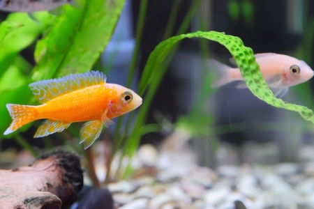 exotic pet: Aquarium Fish dwarf Cichlid-Aulonocara(Aulonocara sp. Orchidea Red)