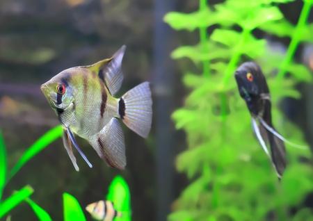 Aquarium Fish-Black and white   Scalare in water. Stock Photo - 10397164