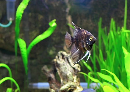 Aquarium Fish-  Black Scalare in water. Stock Photo - 10397170