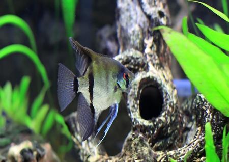 Aquarium Fish-  white Scalare in water. Stock Photo - 10397195