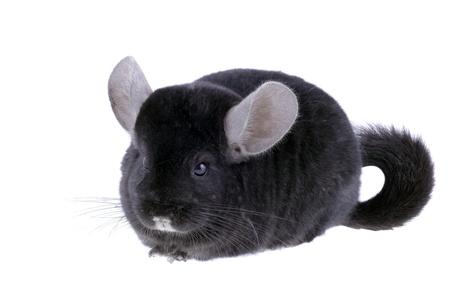lanigera: Black ebonite chinchilla on white background. Isolataed Stock Photo