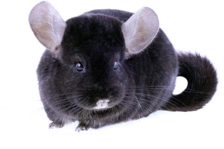 Black ebonite chinchilla on white background. Isolataed Stock Photo - 10397321