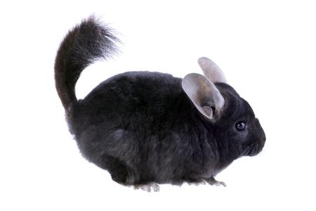 Black ebonite chinchilla on white background. Isolataed Stock Photo - 10397186
