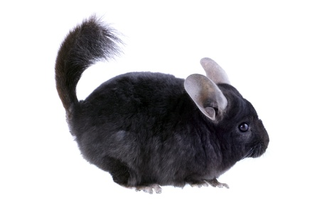Black ebonite chinchilla on white background. Isolataed Stock Photo - 10397186