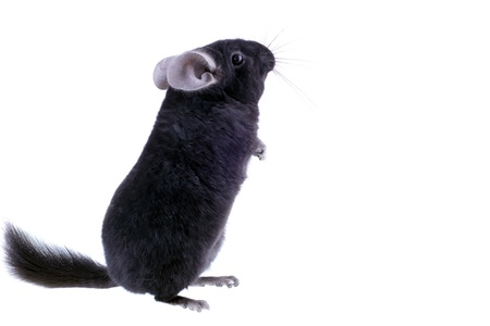 Black ebonite chinchilla on white background. Isolataed Stock Photo - 10397173