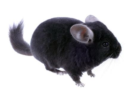 Black ebonite chinchilla on white background. Isolataed photo