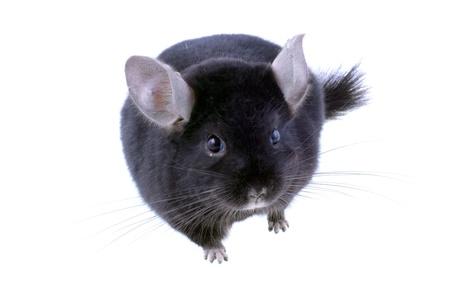 Black ebonite chinchilla on white background. Isolataed Stock Photo - 10397176