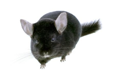 Black ebonite chinchilla on white background. Isolataed Stock Photo - 10397187