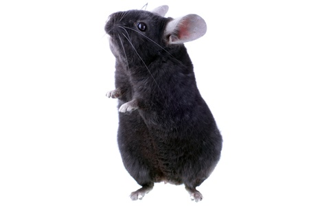Black ebonite chinchilla on white background. Isolataed Stock Photo - 10397171