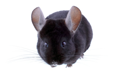Black ebonite chinchilla on white background. Isolataed Stock Photo - 10397185