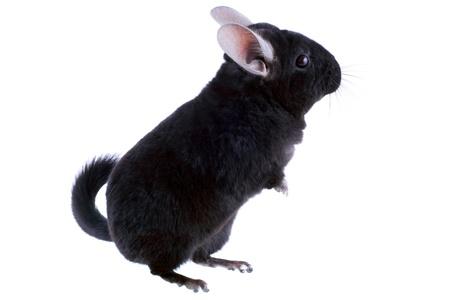 Black ebonite chinchilla on white background. Isolataed Stock Photo - 10397175