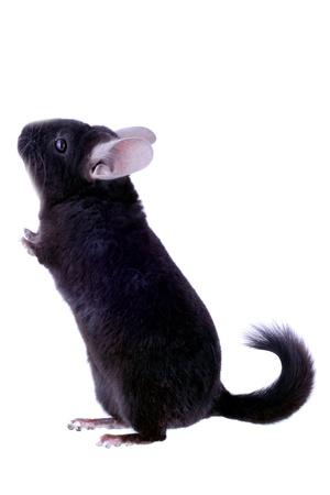 chinchilla: Black ebonite chinchilla on white background. Isolataed Stock Photo