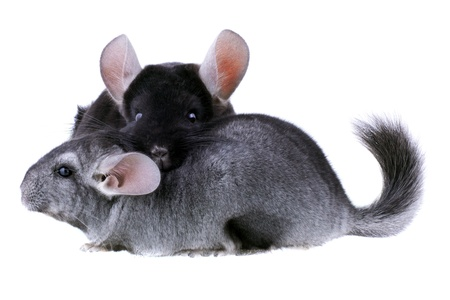bennett: Couple of gray ebonite chinchilla on white background. Isolataed Stock Photo