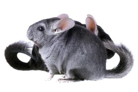 ebonite: Couple of gray ebonite chinchilla on white background. Isolataed Stock Photo