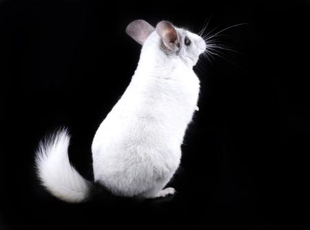 ebonite: White ebonite chinchilla on black background.