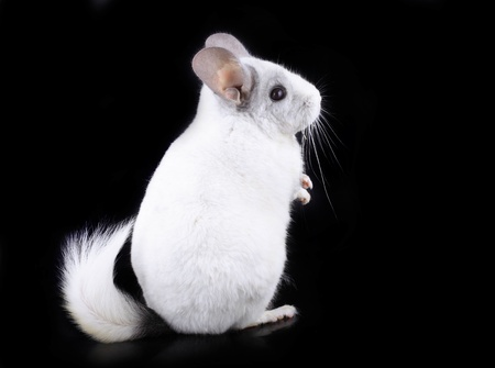 White ebonite chinchilla on black background. photo