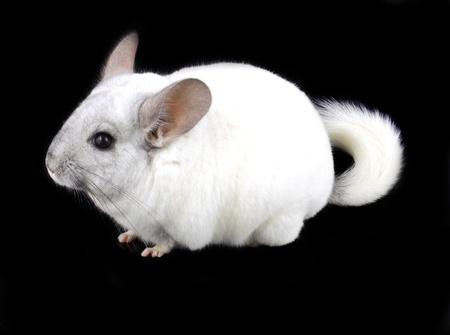 provable: White ebonite chinchilla on black background.