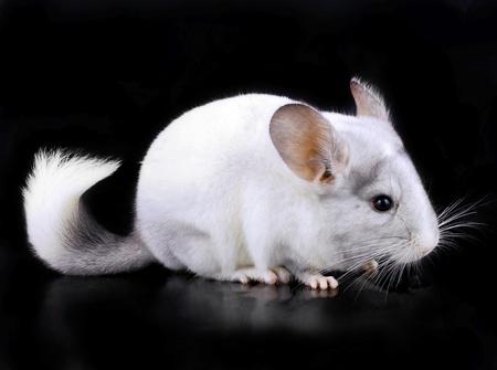 lanigera: White ebonite chinchilla on black background.