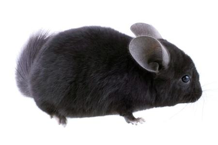 ebonite: Black ebonite chinchilla on white background. Isolataed Stock Photo