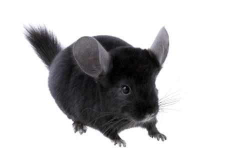 Black ebonite chinchilla on white background. Isolataed Stock Photo - 10397199