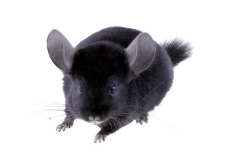 evaluable: Black ebonite chinchilla on white background. Isolataed Stock Photo