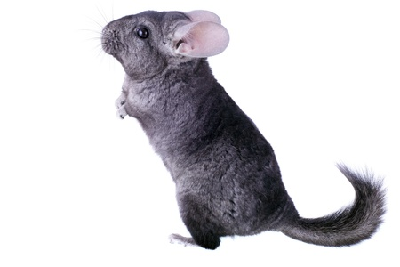 Gray ebonite chinchilla on white background. Isolataed photo