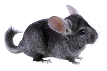 chinchilla: Gray ebonite chinchilla on white background. Isolataed Stock Photo