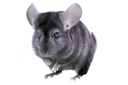 Gray ebonite chinchilla on white background. Isolataed Stock Photo - 10397219