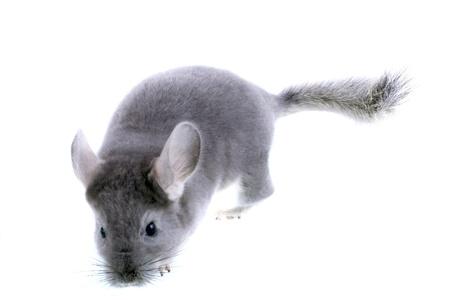 evaluable: Gray ebonite chinchilla on white background. Isolataed Stock Photo