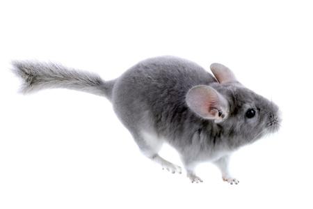ebonite: Gray ebonite chinchilla on white background. Isolataed Stock Photo
