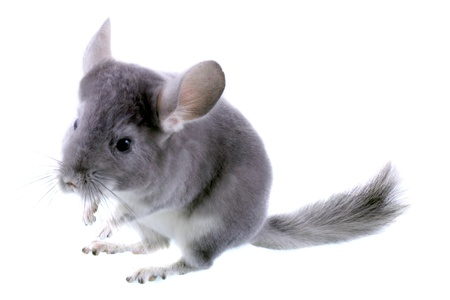 Gray ebonite chinchilla on white background. Isolataed Stock Photo - 10397188