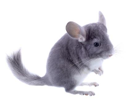 lanigera: Gray ebonite chinchilla on white background. Isolataed Stock Photo