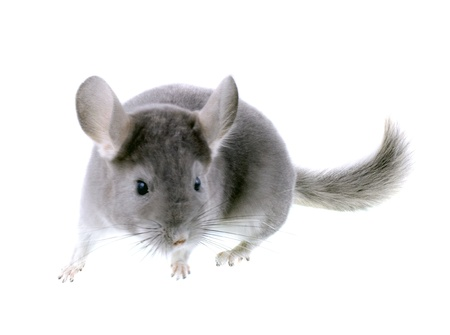 Gray ebonite chinchilla on white background. Isolataed Stock Photo - 10397198
