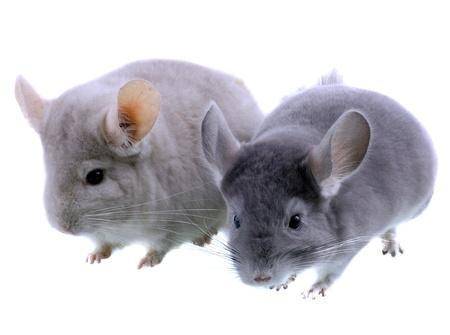 provable: Couple of gray ebonite chinchilla on white background. Isolataed Stock Photo