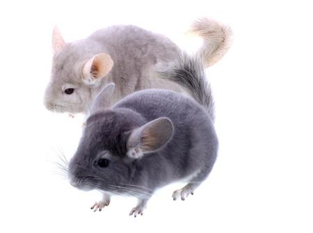 evaluable: Couple of gray ebonite chinchilla on white background. Isolataed Stock Photo