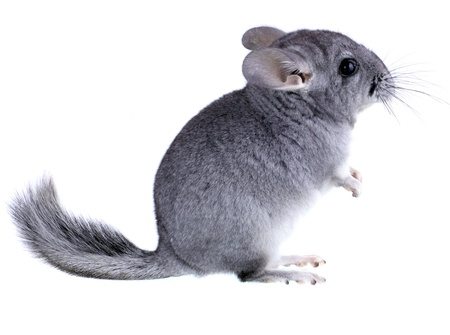 Gray ebonite chinchilla on white background. Isolataed Stock Photo - 10397296