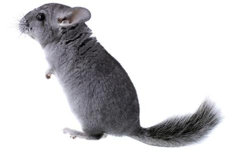 Gray ebonite chinchilla on white background. Isolataed photo
