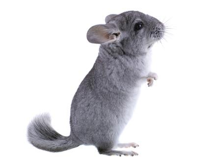 chordata: Gray ebonite chinchilla on white background. Isolataed Stock Photo