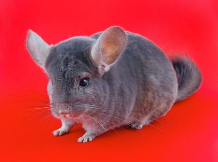 ebonite: Violet ebonite chinchilla on red background.