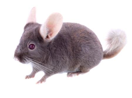 ebonite: Violet ebonite chinchilla on white background. Isolated