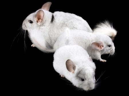 provable: Family  of white ebonite chinchilla on black background.
