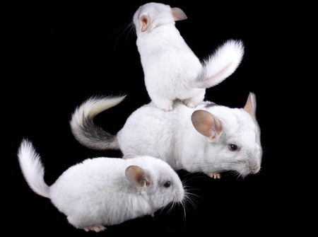 lanigera: Family  of white ebonite chinchilla on black background.