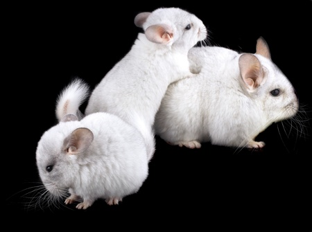 Family  of white ebonite chinchilla on black background. photo