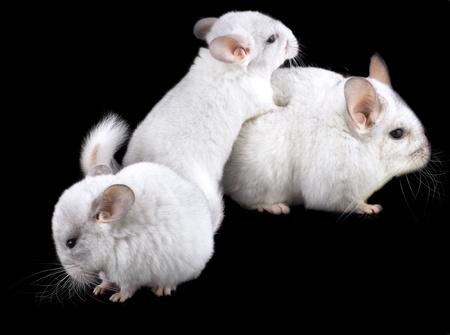 ebonite: Family  of white ebonite chinchilla on black background.