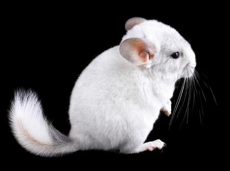 provable: White baby ebonite chinchilla on black background. Stock Photo