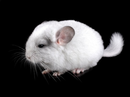 White baby ebonite chinchilla on black background. photo