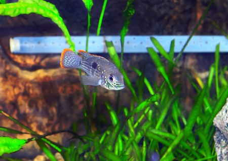 Aquarium Fish dwarf Cichlid.  (Apistogramma nijsseni). Stock Photo - 10397180