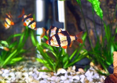 Shoal of aquarium fish-Barbus-five-banded barb. (Barbus pentazona) photo