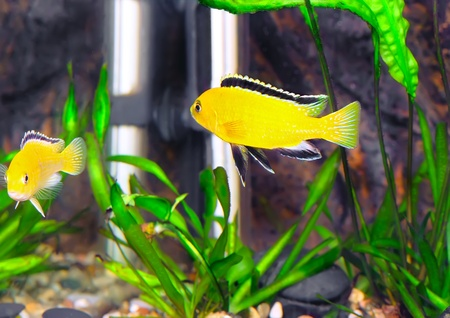 Aquarium Fish- Cichlid Hummingbird Yellow.(Labidochromis caeruleus) photo