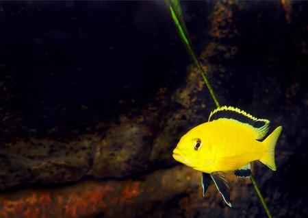 Aquarium Fish- Cichlid Hummingbird Yellow.(Labidochromis caeruleus) Stock Photo - 10397158